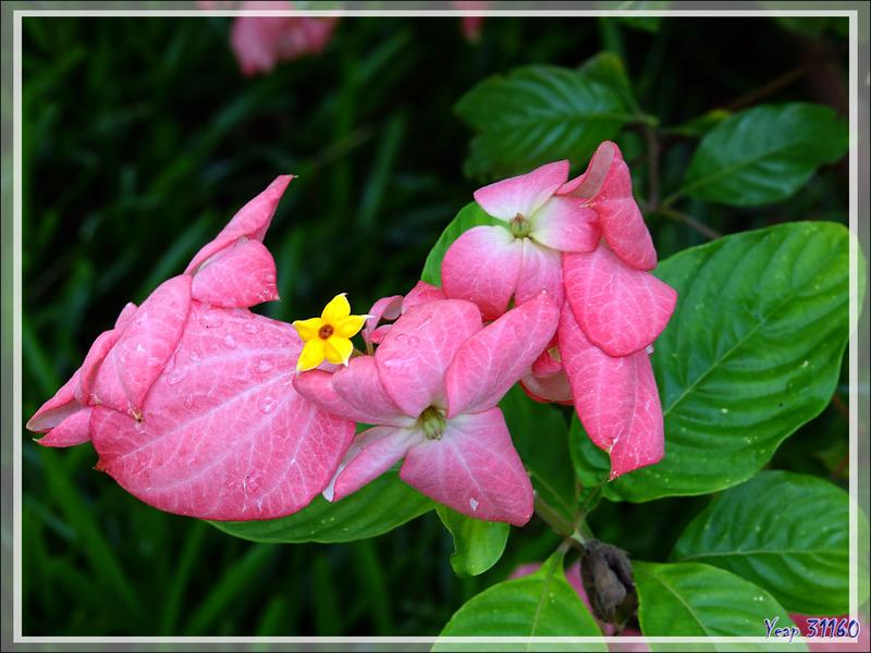 Mussaenda rose (Mussaenda alicia) - Nosy Be - Madagascar