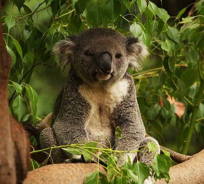 Rencontre d'un koala et d'un papillon