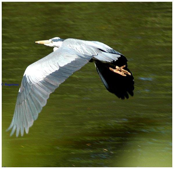 Herons-2011 0310