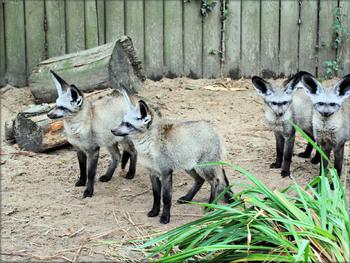Photo d'Otocyons du Zoo de la Boissière du Doré