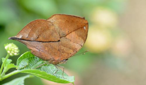 Papillon de l'ile (5)
