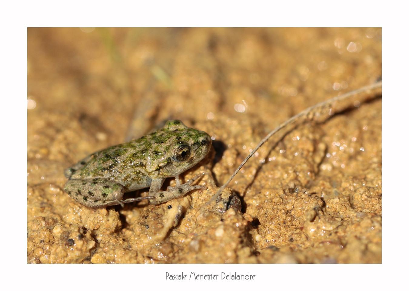 Pélodyte ponctué juvénile (Pelodytes punctatus)