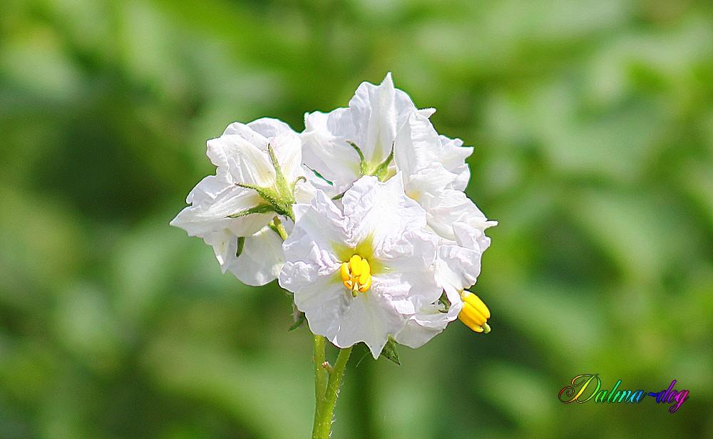 fleurs de pomme de terre