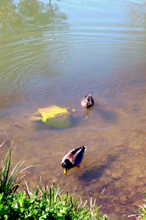 Les canards en promenade !