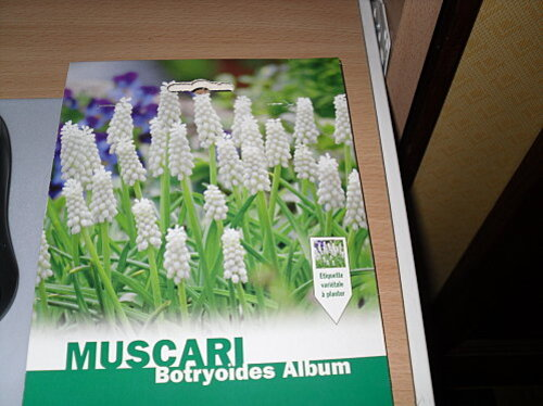 muscaris botryoides album