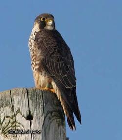 Faucons pèlerins , falcon, pelegrine,Falco peregrinus  Mons  , belgium,be,bergen