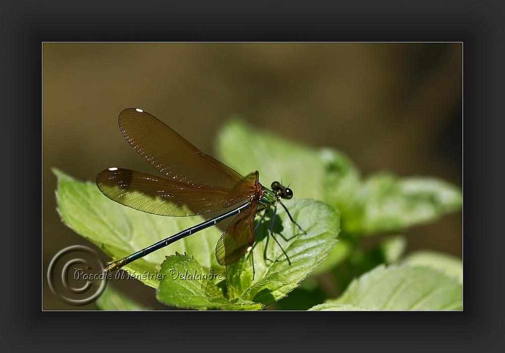 Calopteryx virgo femelle