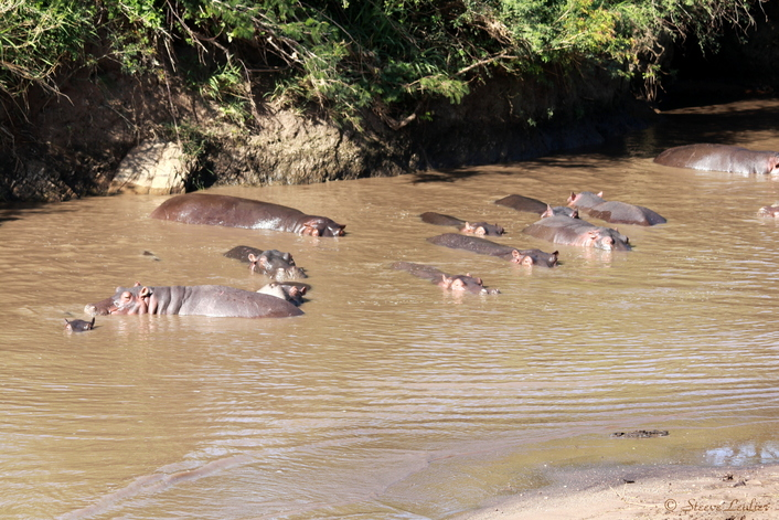 Hippopotames du Sérengeti