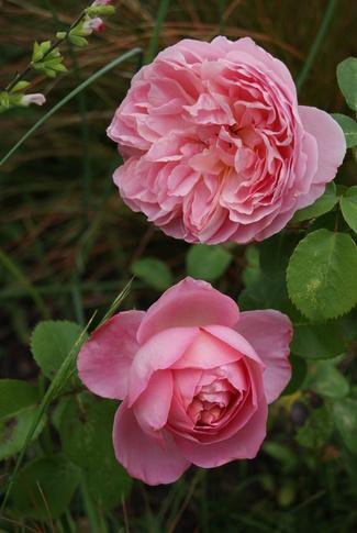 Rose fruitée ' Dames de Chenonceau ' de Delbard