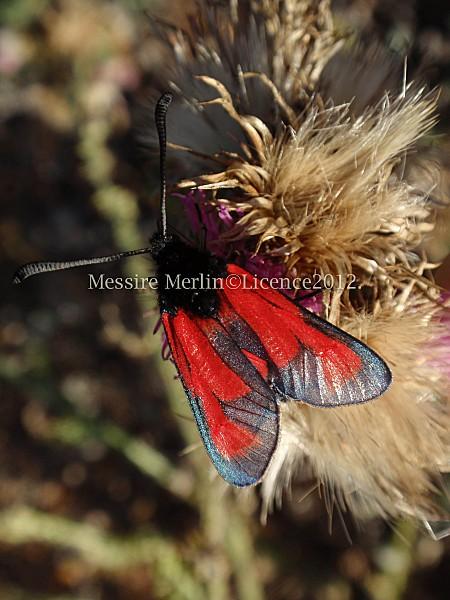 Zygaena-purpuralis.jpg