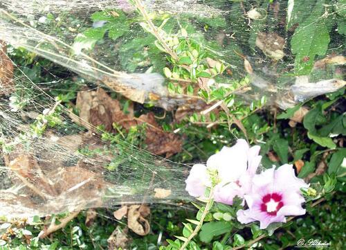 Toiles d'araignée et fleurs d'althea