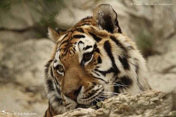 Le tigre aux yeux bicolore...