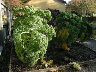 Chou Kale cultivé au potager
