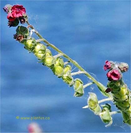 Photo des fleurs et fruits de Cynoglosse officinale - Cynoglossum officinale