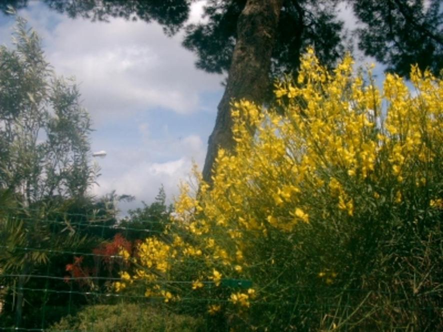 C'était ce printemps - Genêts d'or - Votre jardin resplendit au printemps ? Montrez-le !