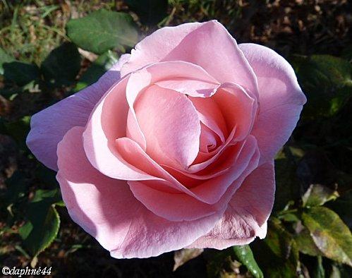 rose-sur-l-ile.jpg