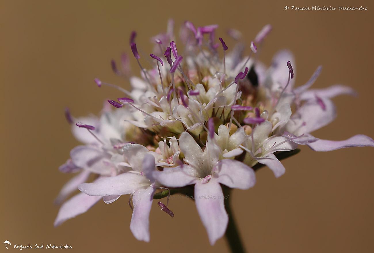 Knautie des champs (Knautia arvensis), ou Scabieuse des champs