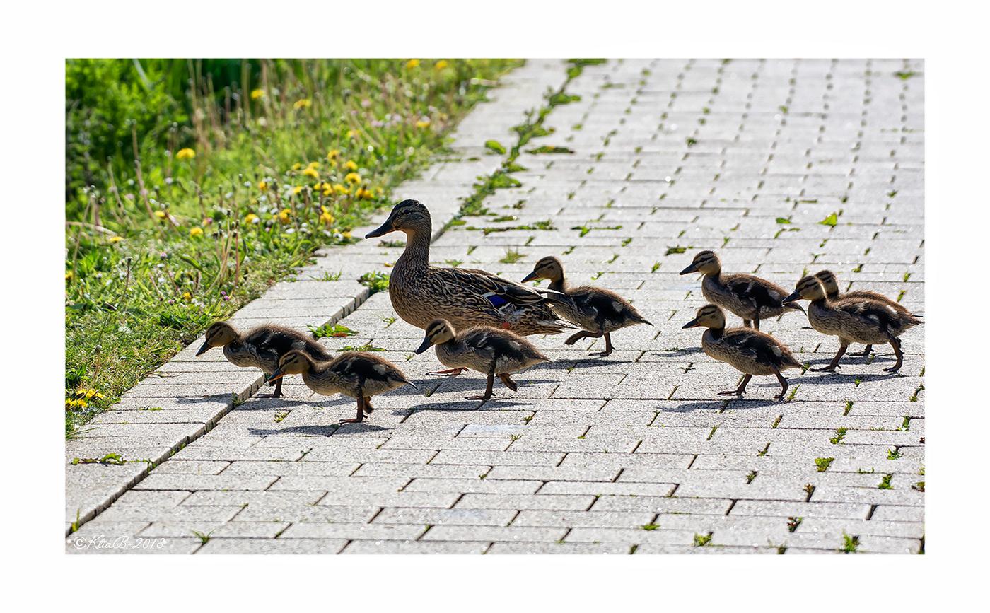 Canard Colvert ♀ et ses petits