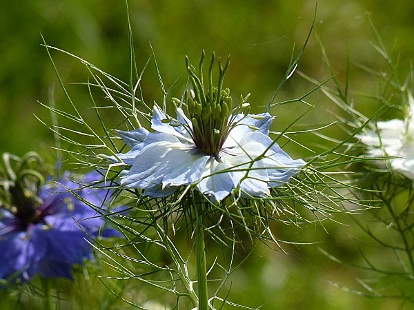 Nigelle de Damas -bleu ciel