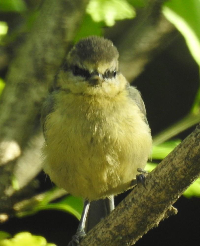 Les oiseaux de mon jardin : les bébés mésanges...