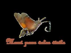 Le Sphinx Colibri et les Oeillets