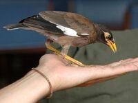 Un oiseau gourmand et téméraire