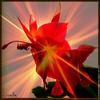 Fleur Schlumbergera.jpg