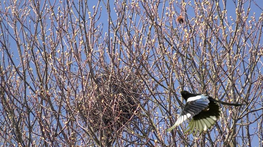 Portraits d'oiseaux (9): La pie bavarde (pica pica)
