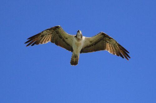 Balbuzard Pêcheur (Western Osprey)