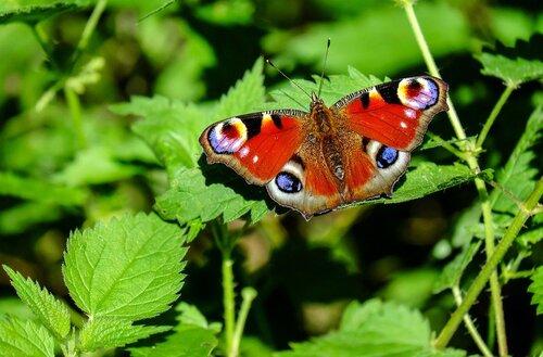 Sans orties, pas de papillons