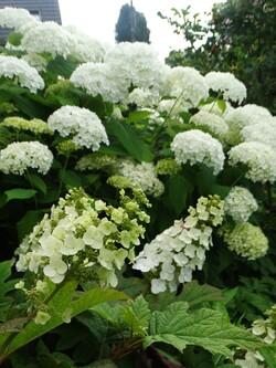 "Hydrangea quercifolia ""Snow Queen"""