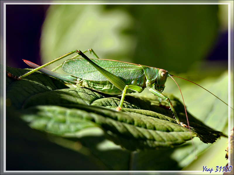 Grande sauterelle verte femelle, Big green leaf Katydid, Great green bush-cricket (Tettigonia viridissima) - Lartigau - Milhas - 31