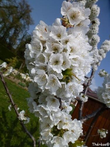 Cerisier (2)