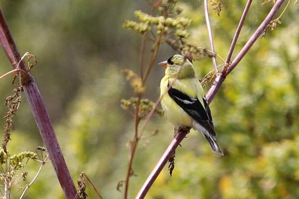 Le marais d'Arcata - American Goldfinch