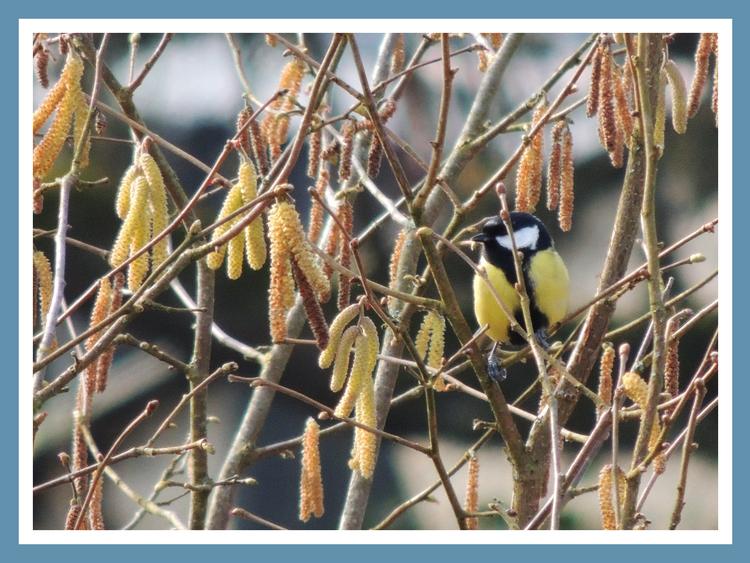 Oiseaux de nos jardins.Images gratuites.Mésange charbonniere.