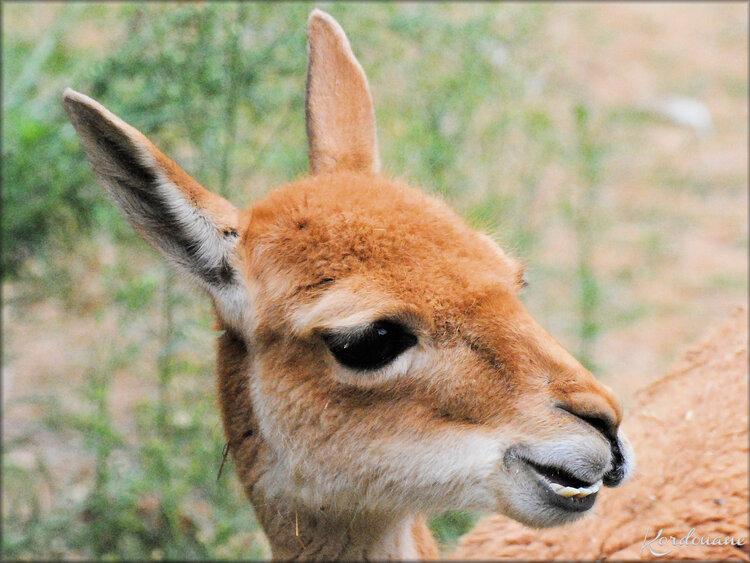 Photo de Vigogne (Zoo de Doué La Fontaine)