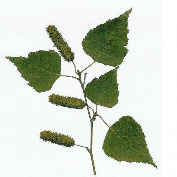 Les feuilles de bouleau