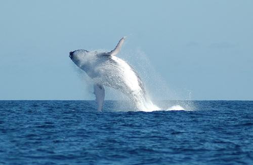 Les baleines : les 10 records