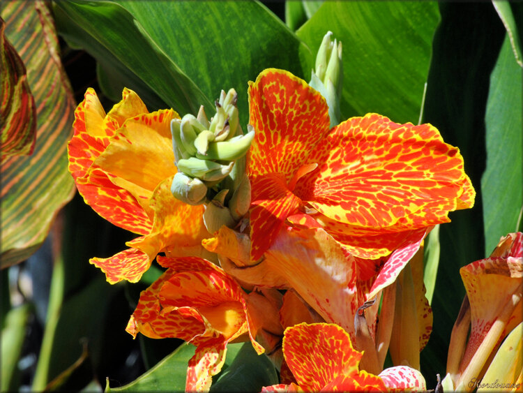 Photo de Canna (Roseraie des Sables d'Olonne)