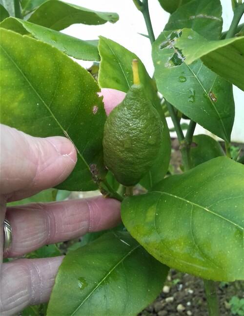 le citronnier - semis maison