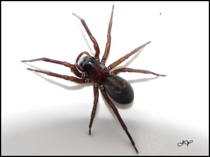 Amaurobius ferox.