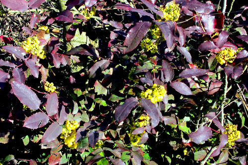 Les mahonias en fleur !