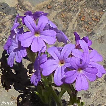 Erinus alpinus  -  érine des Alpes