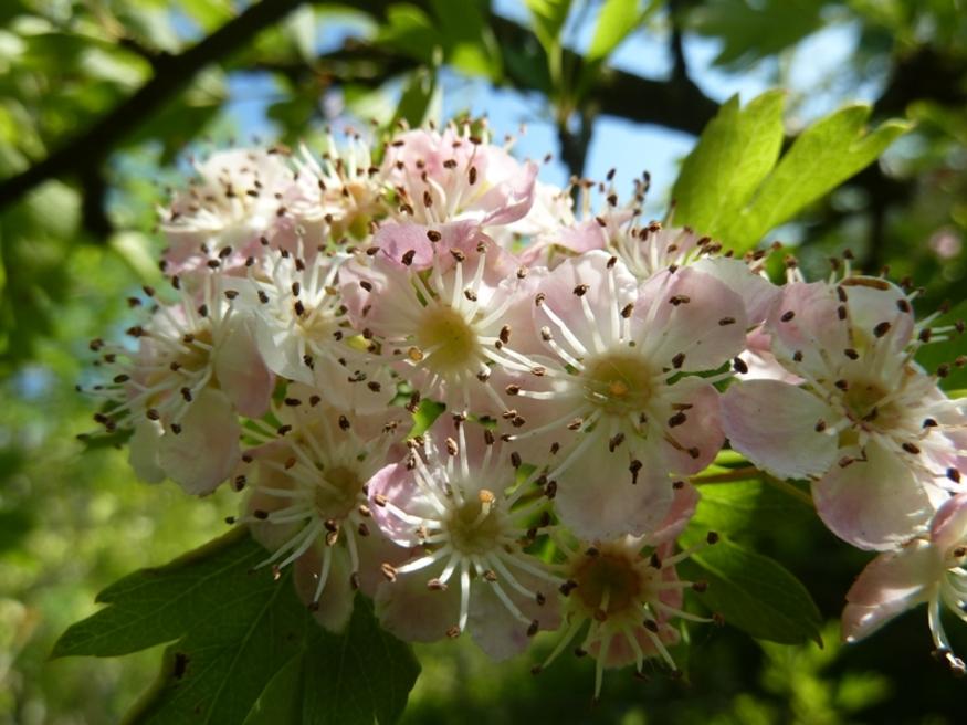 """Le printemps de """"l'aubépine"""" ..."""