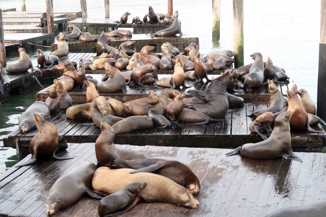 L'observation des phoques et des otaries en Californie - Bons plans voyage  Californie »