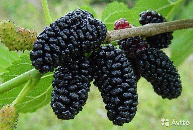 Плоды тутовника при диабете