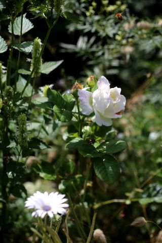 Les Roses de Warren : Shazzam