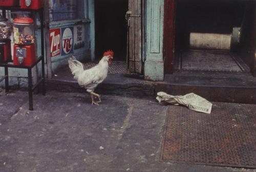 08 - Les poules du monde