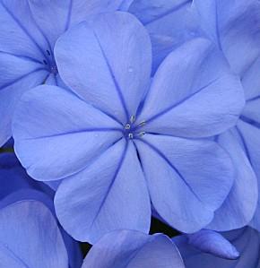 fleur-bleu3.jpg