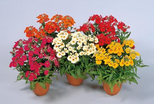 Fleurs cultivées : Némesia